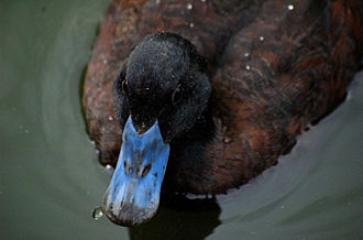 Blue-billed duck - Image: Blue Billed Duck Top View