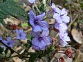 Blue Eranthemum (2060060206).jpg