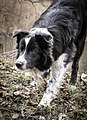 Blue mottled border collie.jpg