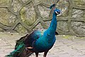 Blue peacock (24842103962).jpg