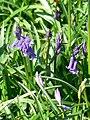 Bluebells, Cobham Frith - geograph.org.uk - 1265808.jpg