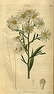 Boltonia asteroides.jpg