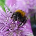 Bombus hypnorum. Tree Bee. (face as long as wide) - Flickr - gailhampshire.jpg