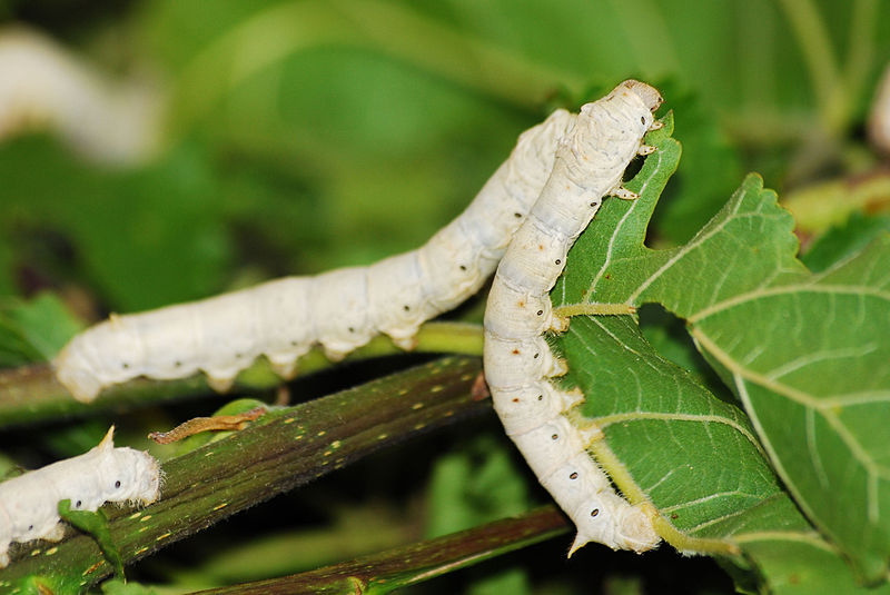 Silkworms on Mulberry Leaves