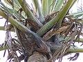Borassus aethiopum 0044.jpg