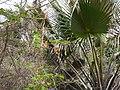 Borassus aethiopum 0076.jpg