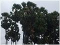 Borassus flabellifer-3.JPG