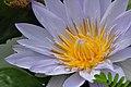Botanischer Garten der Universität Zürich - Nymphaea 2010-09-16 15-57-04.JPG