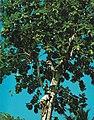 Breadfruit tree climbing man Seychelles.jpg