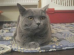 British Shorthair grey.jpg