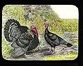 Bronze turkey (22034498071).jpg