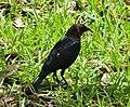 Brown-headed Cowbird male. Molothrus ater (38036894686).jpg