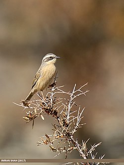 Brown Accentor (Prunella fulvescens) (31466108408).jpg