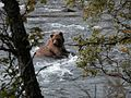 Brown Bear Katmai National Park.jpg