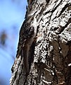 Brown Creeper (albescens-alticola) (33937774585).jpg