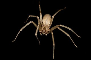 The brown recluse spider is also known as the violin spider because of the shape of its belly