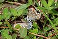 Brown argus butterflies (aricia agestis) 2 of 5.jpg