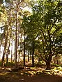 Brownsea Island, tall trees - geograph.org.uk - 1445887.jpg