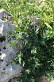 Bryonia dioica kz1.jpg