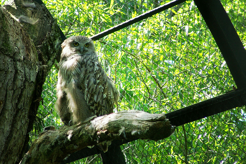 Kushiro Japan  city photos : Bubo blakistoni Kushiro Zoo Japan 8b Wikimedia Commons