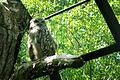 Bubo blakistoni -Kushiro Zoo -Japan-8b.jpg