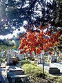 Bucuresti, Romania, Cimitirul Bellu Catolic (puiet de stejar)(2).jpg