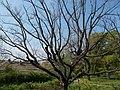 Buda Arboreta. Upper garden. Pedunculate oak (Quercus robur). - Budapest.JPG