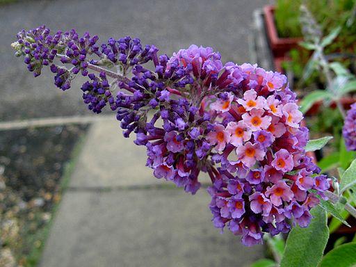 Buddleja 'Flowerpower'