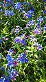 Buglossoides purpurocaerulea sl3.jpg