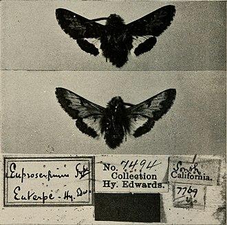 Euproserpinus euterpe - Image: Bulletin of the Southern California Academy of Sciences (1902 1971.) (19873988274)