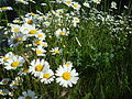 Bunch of daisies.JPG