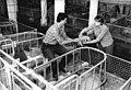 Bundesarchiv Bild 183-1983-0510-003, Bockwitz, Bauern bei der Ferkelpflege.jpg