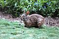 Bunny at Wilderness Lodge (19453044558).jpg