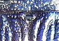 Buprestis rustica detail4.jpg