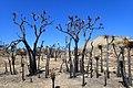 Burnt Joshua Trees kz6.jpg