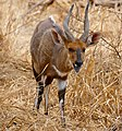 Bushbuck (Tragelaphus scriptus) male ... (50228718287).jpg