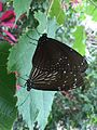 Butter fly in Itami greenhouse 5.jpg