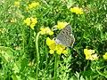 Butterfly gray copper lycaenidae dione on blossom of birdsfoot trefoil.jpg