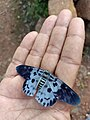 Butterfly with blue colour.jpg
