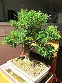 Buxus harlandii (bonsai).jpg