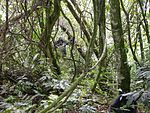 A view inside of a dense forest with a gorilla roaming a few metres away on its hind legs.