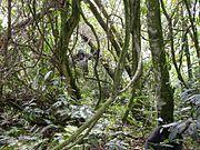 Mountain Gorillas, Bwindi Impenetrable National Park, Uganda.
