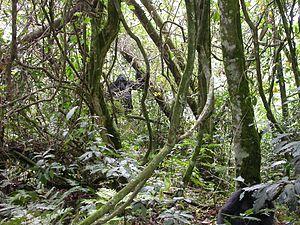 Bwindi Impenetrable National Park - Mountain gorillas in Bwindi Impenetrable Forest