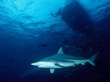 Blacktip Shark 2 by Inked Animal