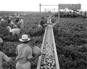 Princeton, Florida - Harvesters using a conveyor belt in order to aid with tomato harvesting in Princeton, Florida. 1957