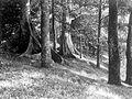 COLLECTIE TROPENMUSEUM Ficussoorten met sterk ontwikkelde wortellijsten in 's-Lands Plantentuin in Buitenzorg TMnr 10006185.jpg