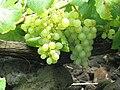 Cacho de uvas da Casta Verdelho.JPG