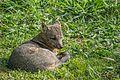 Cachorro do Mato (Cerdocyon thous).jpg