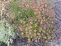 Cachrys sicula Habitus 2010-6-25 CampodeCalatrava.jpg