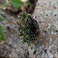 Cactophagus spinolae (Familyː Curculionidae) II.jpg